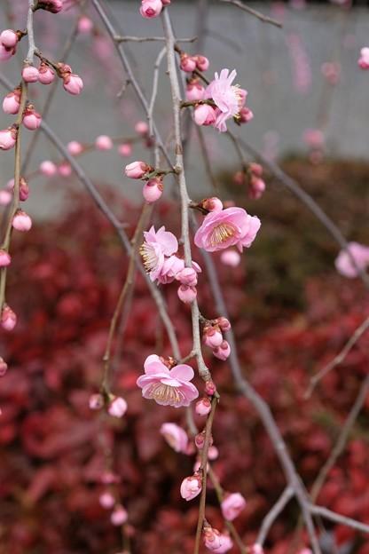 梅まつり枝垂れ梅