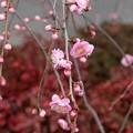 写真: 梅まつり枝垂れ梅