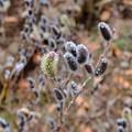 写真: ネコヤナギ咲き始め
