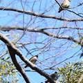 5羽のヒレンジャク