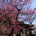 真幡寸(まはたき)神社の梅