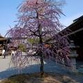 「城南鳥居」をくぐると枝垂れ梅
