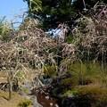 枝垂れ梅と流れ