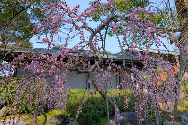神苑出口の枝垂れ梅もちょうど見ごろ
