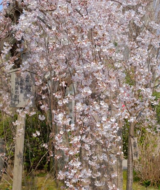 佐野藤右衛門さんの糸桜が開花