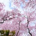 写真: 枝垂れの世界