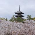 写真: 御室桜と五重塔