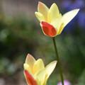 庭チューリップ7