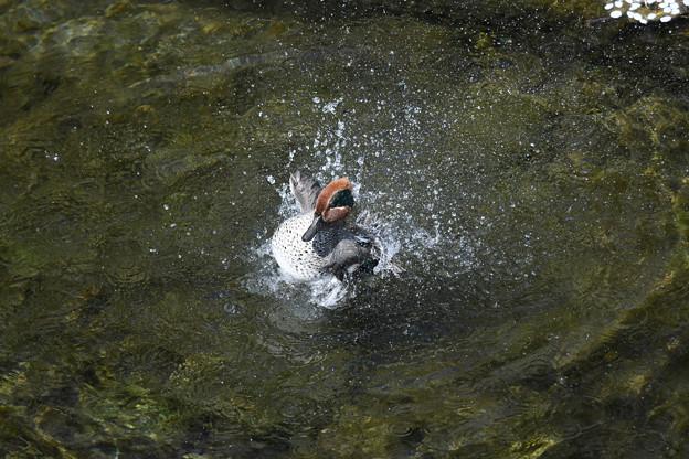 水浴びコガモ3