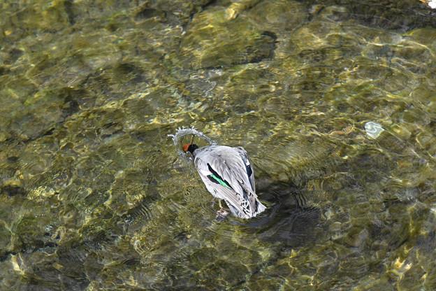 コガモ頭を水につっこんだ