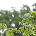 写真: ウスバシロチョウ飛ぶ