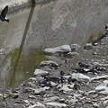 写真: イワツバメ巣材集め3