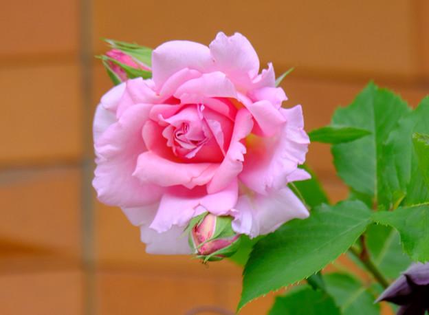 写真: ピンク系