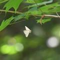 写真: キアシドクガの正体2