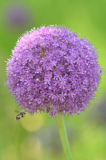 アリウムと蜂1