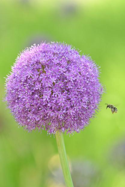 アリウムと蜂2