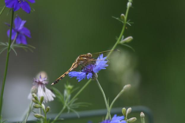 花とシオカラ4