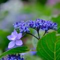 Aの紫陽花