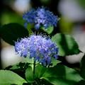 Bの紫陽花