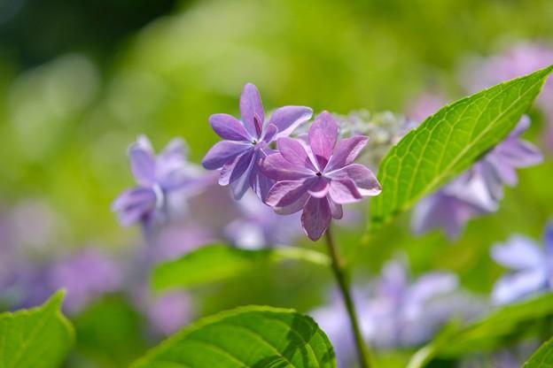 Cの紫陽花