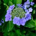 Dの紫陽花