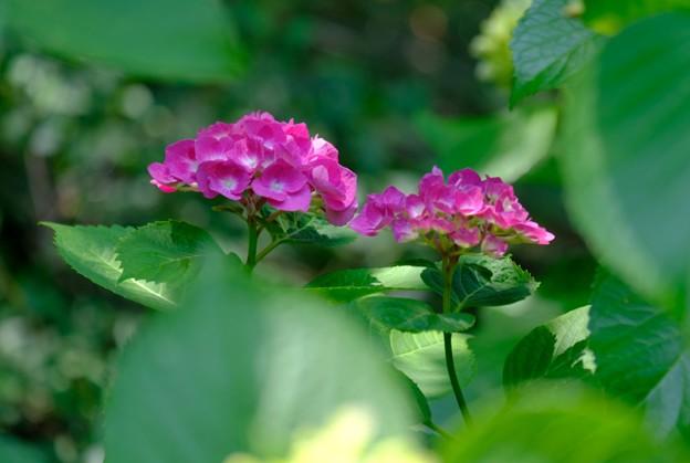 Eの紫陽花