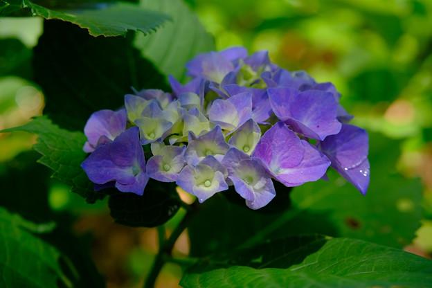 みずみずしい紫陽花