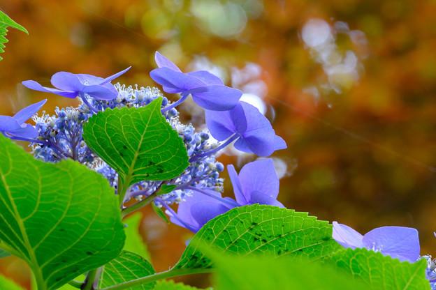 Photos: 紫陽花仰いで