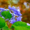 写真: 紫陽花仰いで