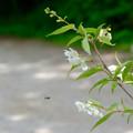 写真: 上高地の花 ウツギ?