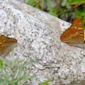 写真: 翅をとじているコムラサキ