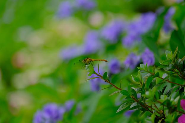 紫陽花マユタテ