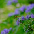 写真: 紫陽花マユタテ