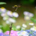 写真: 翅の輝き