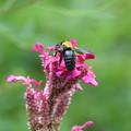 写真: クマバチは大きい