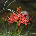 写真: 彼岸花に蝶