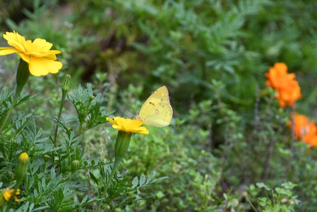 黄色い花にモンキチョウ