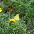 写真: 黄色い花にモンキチョウ