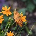 写真: オレンジの花にツマグロヒョウモン