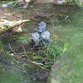 ツミの水浴び2