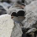 写真: ツバメシジミ2