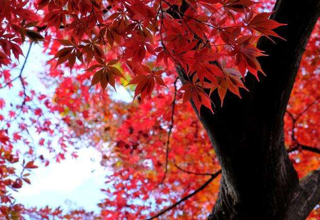 大木赤々と