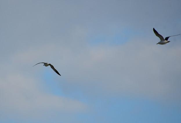 飛ぶカモメたち