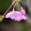 写真: 庭の河津桜3