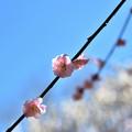 Photos: 藤牡丹枝垂れ2