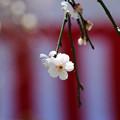Photos: 玉垣枝垂れ1