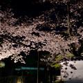 門の外の桜