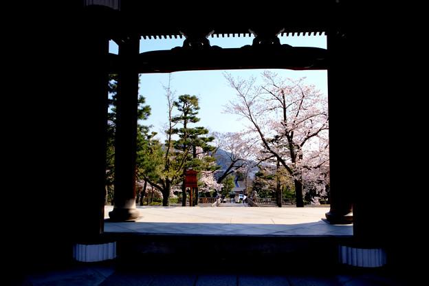 山門向こうも桜