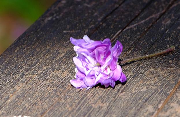 落ちていた八重の花