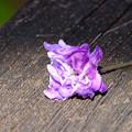Photos: 落ちていた八重の花
